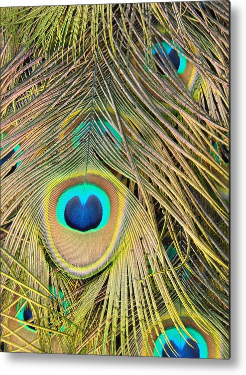 Peacock Metal Print featuring the photograph Fabulous Feathers by Margaret Bobb