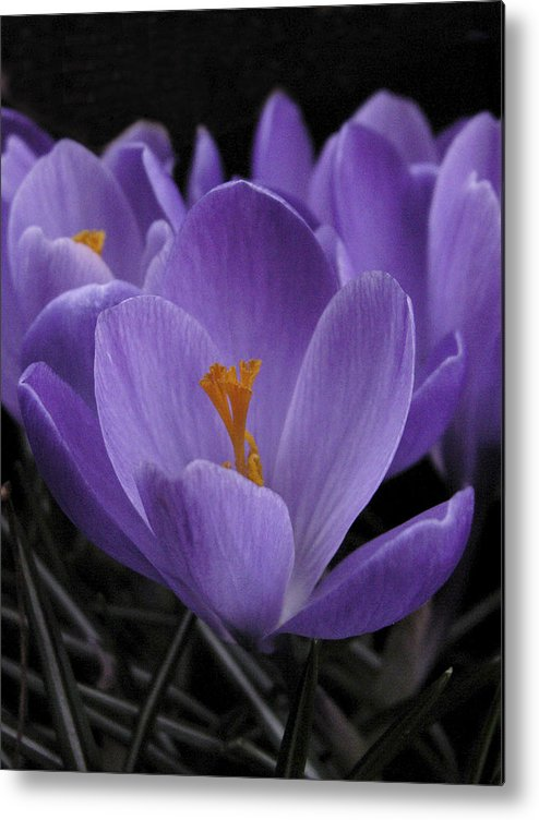 Flowers Metal Print featuring the photograph Flower Crocus by Nancy Griswold