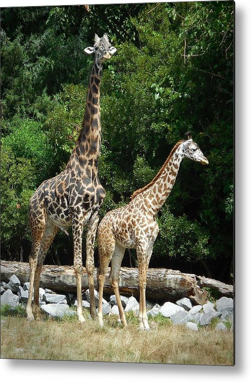 Giraffe Metal Print featuring the photograph Giraffe, Male And Female by Captain Debbie Ritter