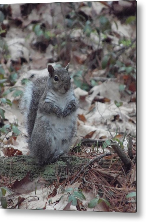 Wildlife Metal Print featuring the photograph Grey Squirrel by Julie Houle