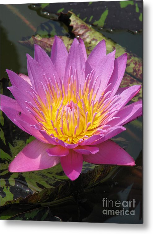 Lotus Metal Print featuring the photograph In Position by Amanda Barcon