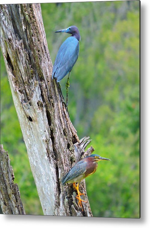 Little Blue Heron Metal Print featuring the photograph Little Blue And Green Heron by Brittaney Gresham