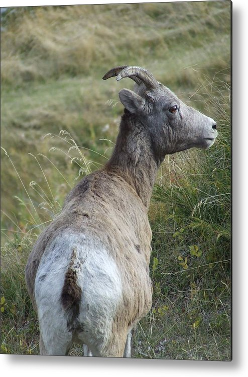 Bighorn Sheep Metal Print featuring the photograph Mother Bighorn by Tiffany Vest
