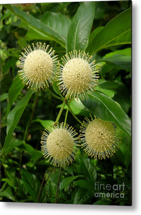 Nature Metal Print featuring the photograph Nature In The Wild - Pin Cushions Of Nature by Lucyna A M Green