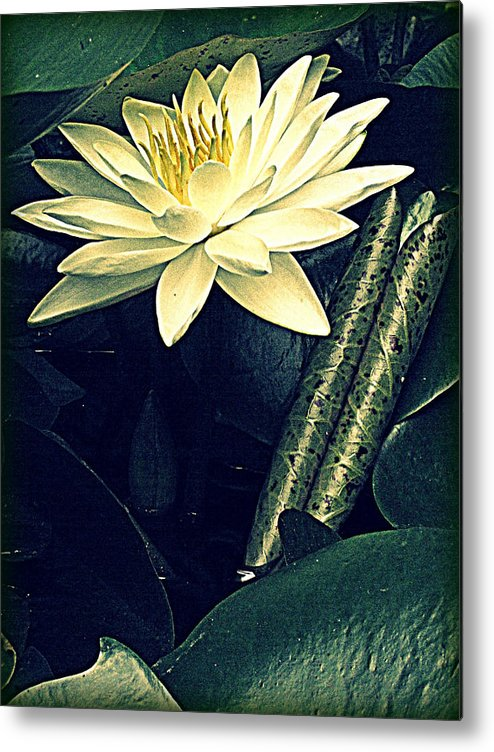 Waterlily Metal Print featuring the photograph Nymphaea by Jessica Brawley