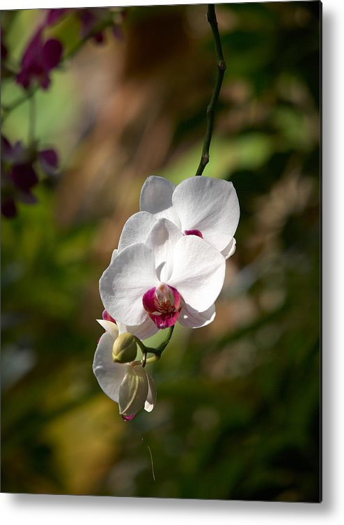 Loro Park Metal Print featuring the photograph Orchid by Jouko Lehto