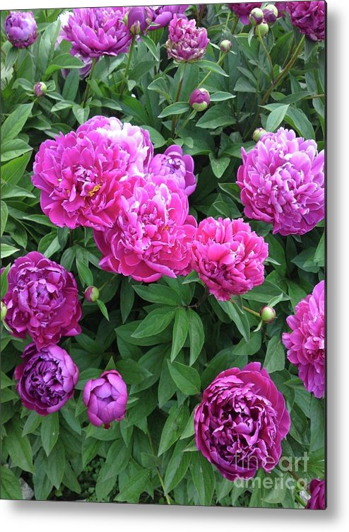 Flower Metal Print featuring the photograph Peony 2 by DebiJeen Pencils