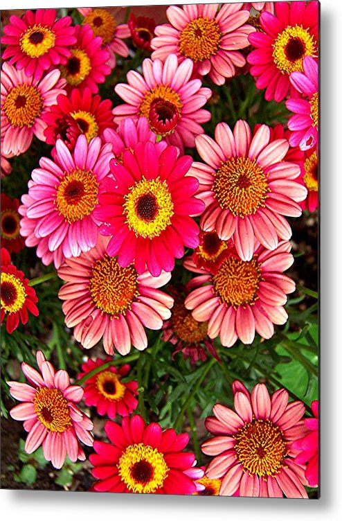 Mini Mums Metal Print featuring the photograph Pink Patterned Mums by Caroline Urbania Naeem