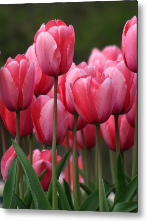 Pink Tuilips Metal Print featuring the photograph Pink Tuilips by Martina Fagan