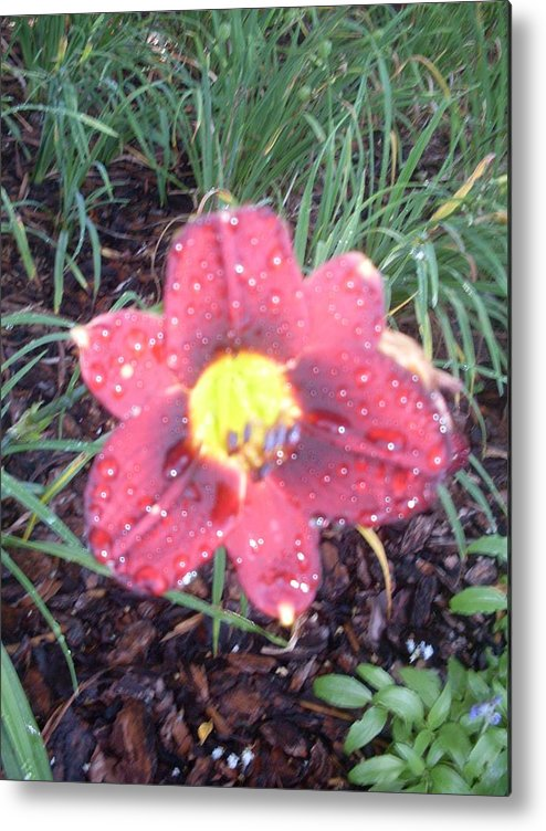 Red Metal Print featuring the photograph Raindrops On Lily by Warren Thompson