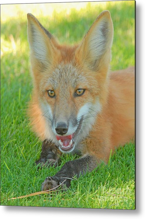 Fox Metal Print featuring the photograph Red Tailed Fox by Dennis Hammer