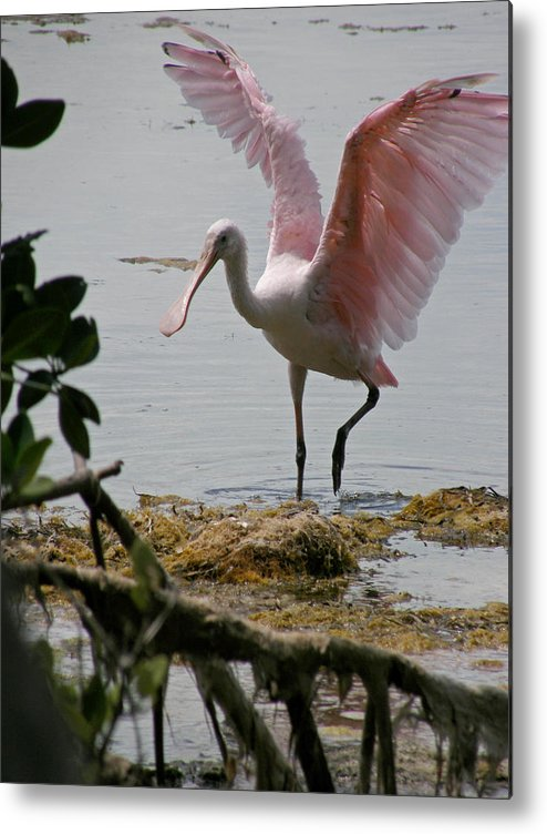 Roseate Spoonbill Metal Print featuring the photograph Roseate Wave by Kimberly Mohlenhoff