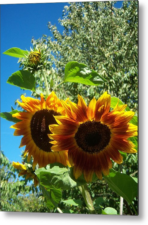 Sun Metal Print featuring the photograph Sunflower 132 by Ken Day