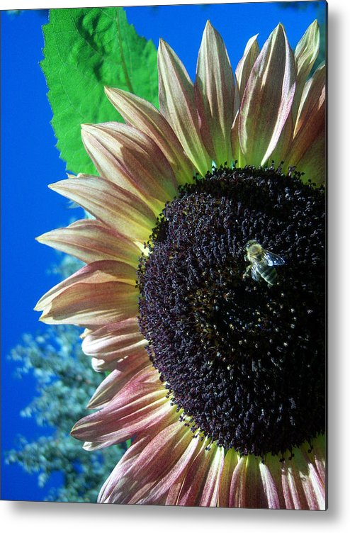 Sun Metal Print featuring the photograph Sunflower 142 by Ken Day