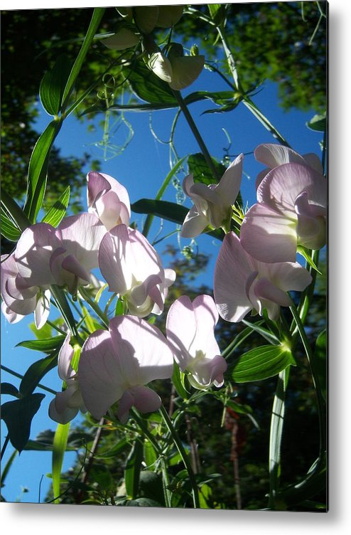 Flower Metal Print featuring the photograph Sweet Peas by Ken Day