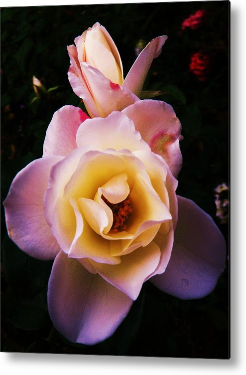 Rose Metal Print featuring the photograph Sweet Rose by Daniele Smith