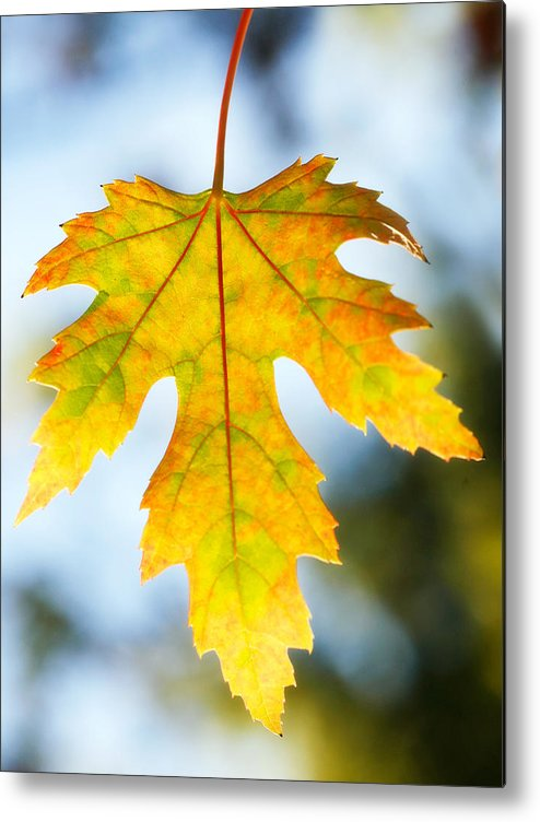 Maple Metal Print featuring the photograph The Maple Leaf by Marilyn Hunt