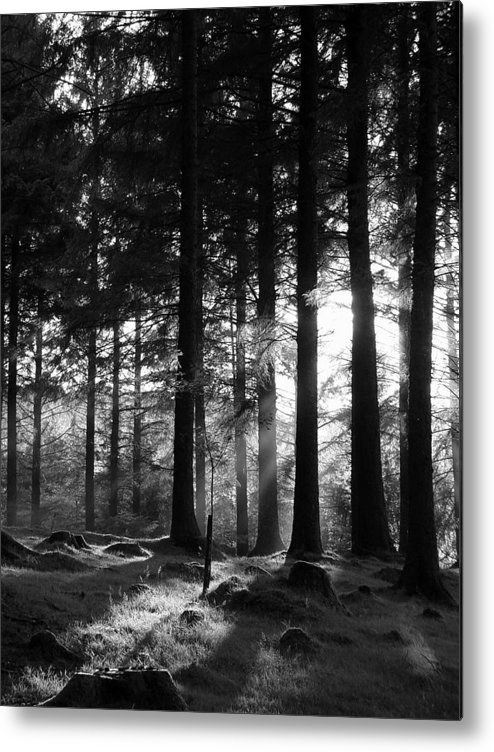 Trees Forest Woods Mono Sapling Evening Light Dusk Rays Light Metal Print featuring the photograph The Sapling by Lloyd Burchell