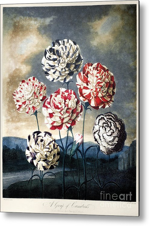 1803 Metal Print featuring the photograph Thornton: Carnations by Granger
