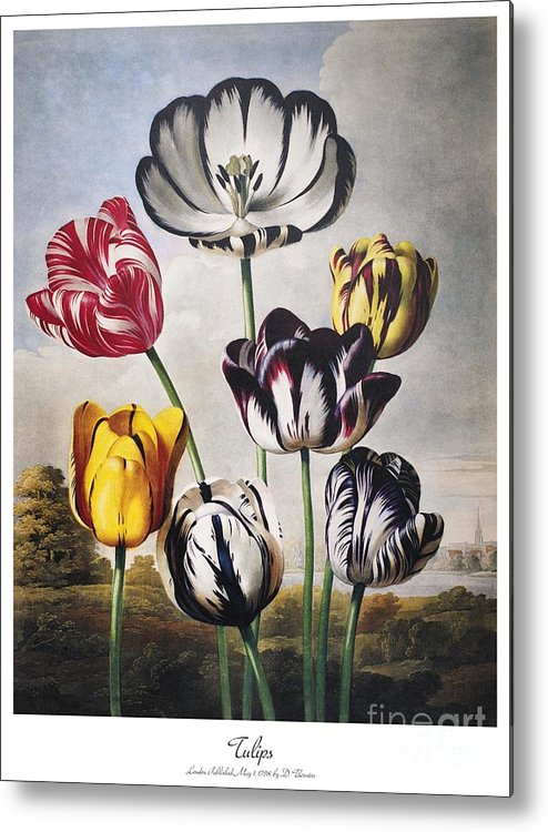 1798 Metal Print featuring the photograph Thornton: Tulips by Granger