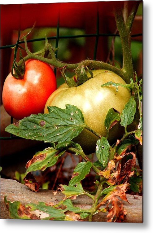 Vegetables Metal Print featuring the photograph Tomatoes In Red N Green by Margie Avellino