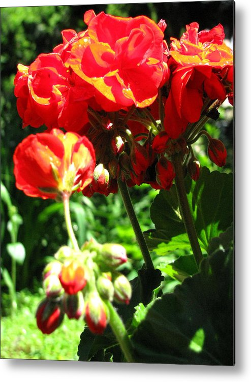 Geraniums Metal Print featuring the photograph Turned Away by Belinda Consten