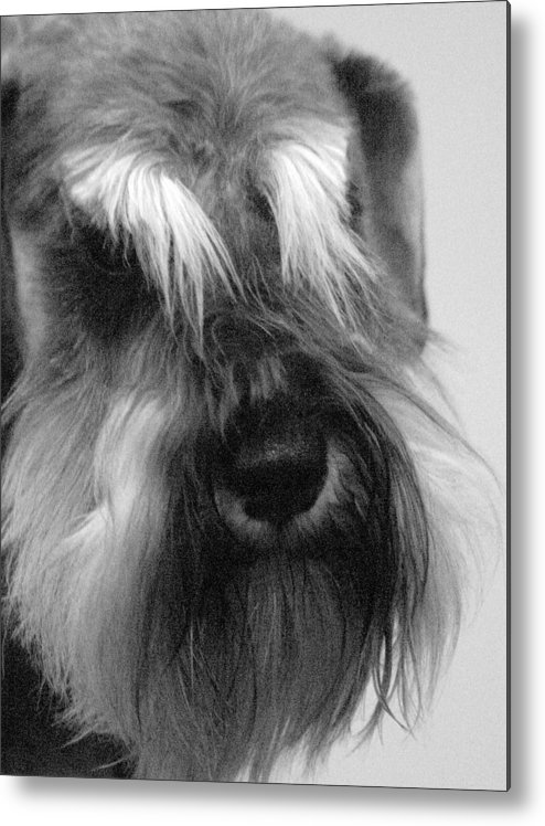Dog Metal Print featuring the photograph Whiskers by Nik Sheppard
