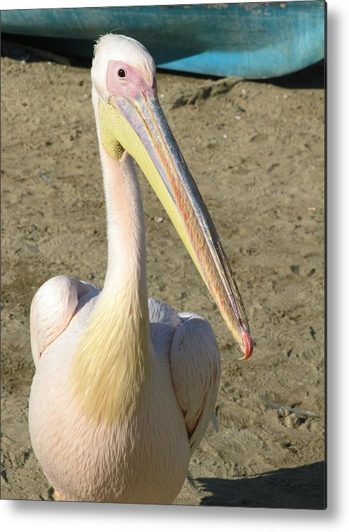 White Pelican Metal Print featuring the photograph White Pelican by Sally Weigand