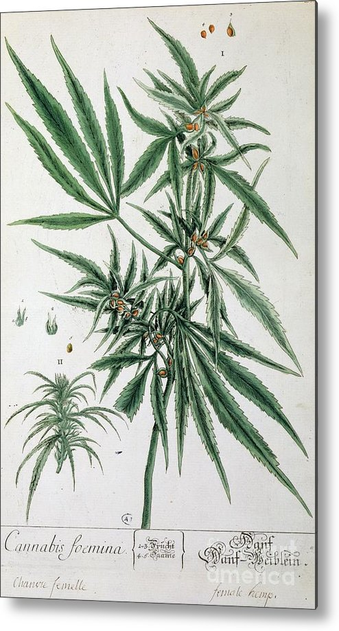 Cannabis Metal Print featuring the painting Cannabis by Elizabeth Blackwell
