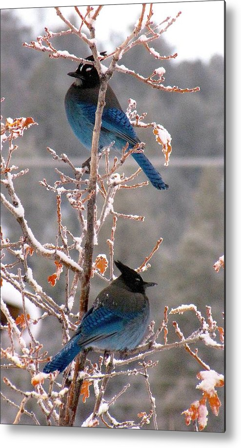 Birds Metal Print featuring the photograph Steller's Jays by Feva Fotos