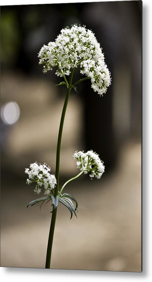 Valerian Metal Print featuring the photograph White Valerian by Teresa Mucha