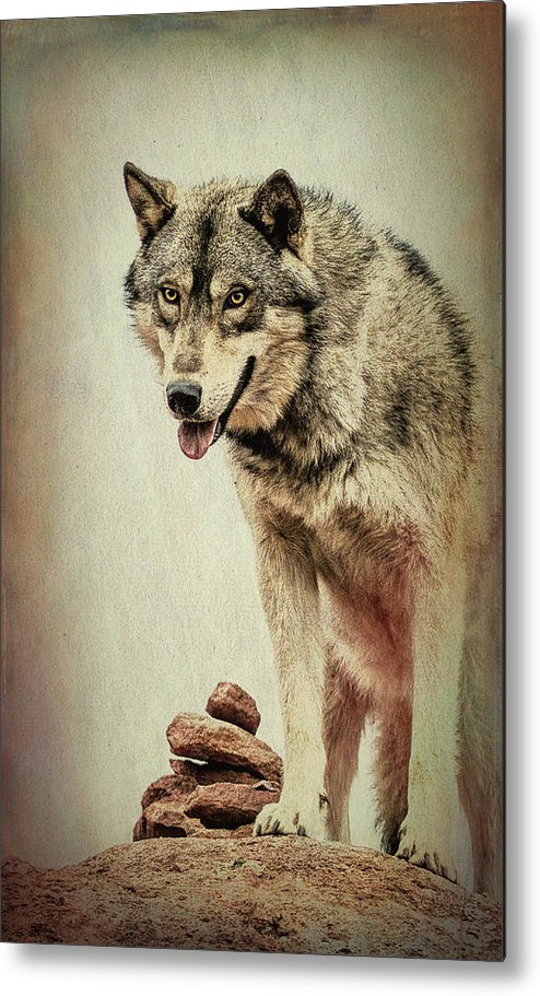 Wolf Metal Print featuring the photograph Wolf Wonder by Vicki Stansbury