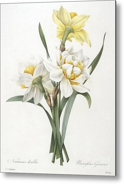 Floral Metal Print featuring the painting Double Daffodil by Pierre Joseph Redoute