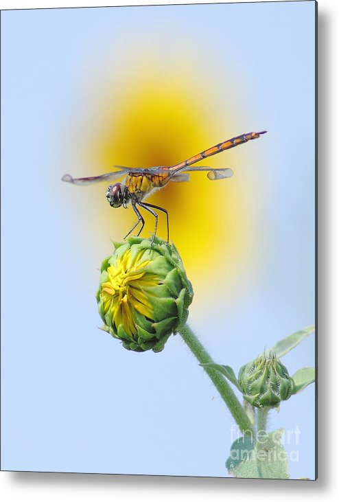 Nature Metal Print featuring the photograph Dragonfly In Sunflowers by Robert Frederick