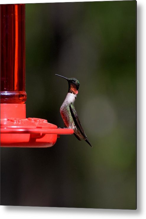 Bird Metal Print featuring the photograph Hummingbirds 405 by Lawrence Hess