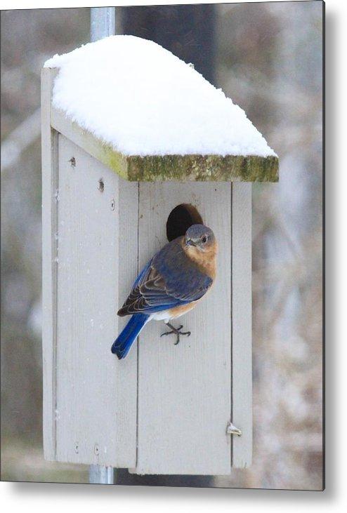 Blue Bird Metal Print featuring the photograph Mama Blue Bird In Winter by Brad Fuller