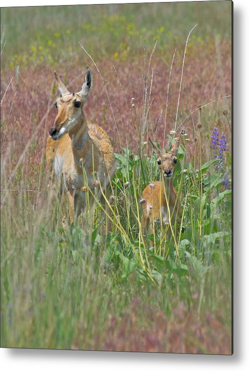 Pronghorn Metal Print featuring the photograph Pronghorn Doe And Fawn by Karon Melillo DeVega
