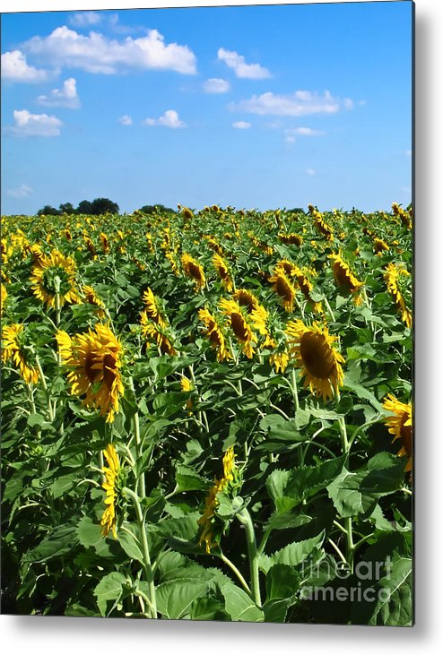 Sunflower Metal Print featuring the photograph Windblown Sunflowers by Robert Frederick
