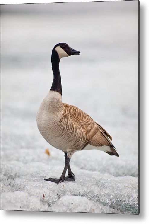 Goose Metal Print featuring the photograph Over Here by Jesse Pickett