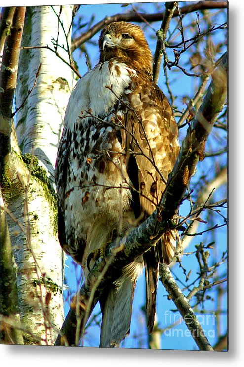 Hawks Metal Print featuring the photograph Perched Hawk by Randy Harris