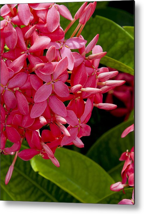 Tropical Flower Metal Print featuring the photograph Tropical Beauty by Stephen Anderson