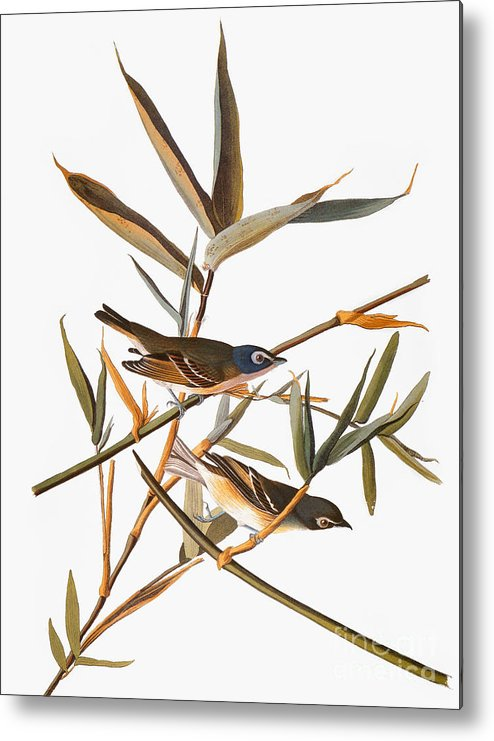 1838 Metal Print featuring the photograph Audubon: Vireo by Granger
