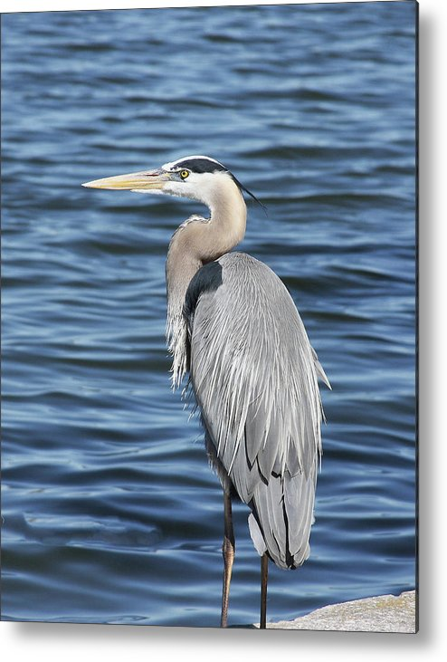 Birds Metal Print featuring the photograph Egret by Francesco Roncone
