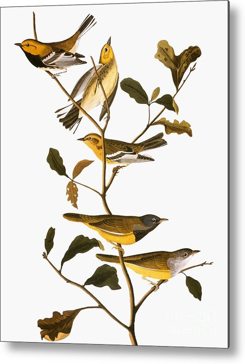 1838 Metal Print featuring the photograph Audubon: Warbler by Granger