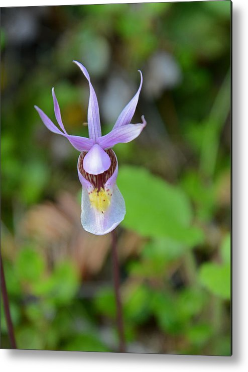 Fairy Slipper Metal Print featuring the photograph Calypso Orchid by Whispering Peaks Photography