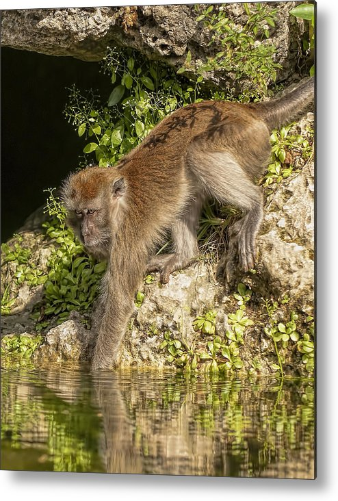 Animals Fauna Monkeys Metal Print featuring the photograph Curious by LOsorio Photography