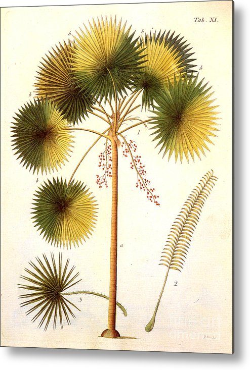 1799 Metal Print featuring the photograph Fan Palm by Granger