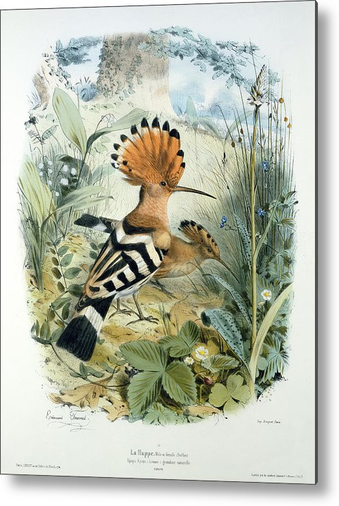 Hoopoe (upupa Epops) (colour Litho) By Edouard Travies (1809-c.1865) Metal Print featuring the painting Hoopoe by Edouard Travies