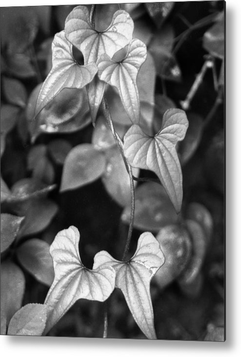 Ansel Adams Metal Print featuring the photograph ivy by Curtis J Neeley Jr