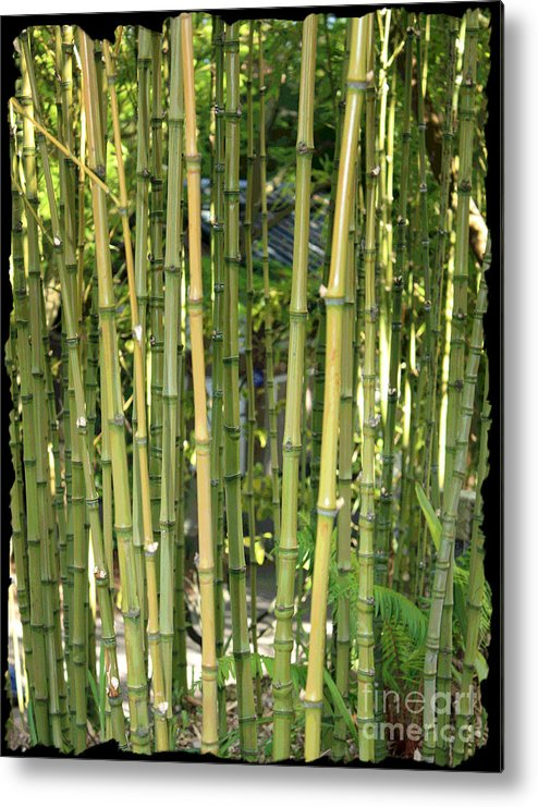 Bamboo Metal Print featuring the photograph Lucky Bamboo by Carol Groenen